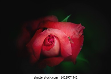 Red rose blossom with insect on a dark background.Close up.