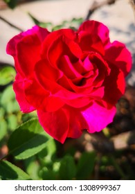 Red rose with blur background