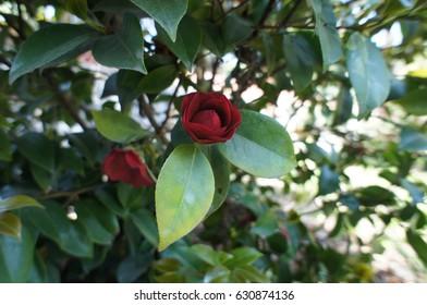 Red Rose in a Botanical Garden