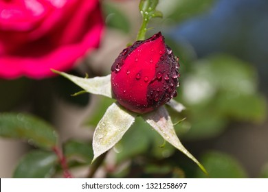 red rose bud in the drops of morning dew