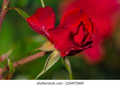 Red rose bud in the garden with the dew drop