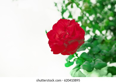 red rose buds flower with bright green leaves on a background of bushes lit by the bright rays of the spring sun