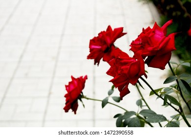 red rose bush background in macro photography