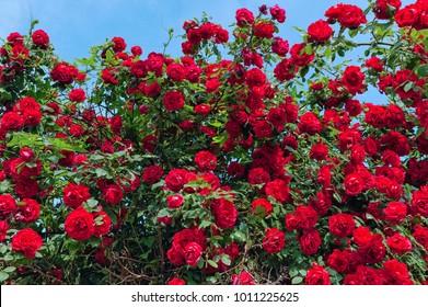 red rose bush in the garden