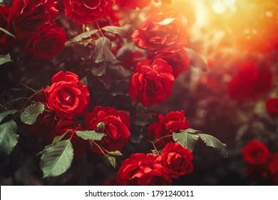 Rose rouge broussaillée dans un jardin à la lumière ensoleillée. Arrière-Plan de la Bannière