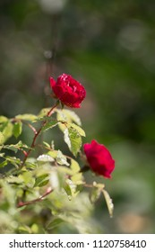 Red, rose bush in the morning dew with sunlight reflections. Moscow, June 2018.