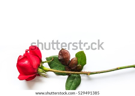 red rose for christmas happy new year celebration valentine day the meaning of
