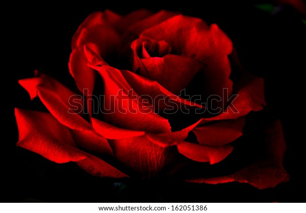 Red rose close up on a black background