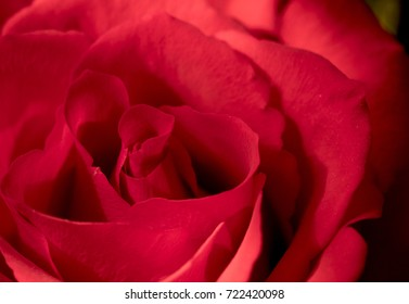 Red rose close up portrait