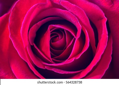 Red rose with close up shot for background,Top view.