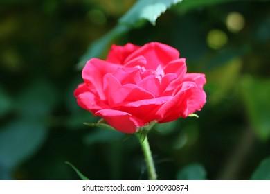 Red Rose, Close - up, Vintage, Spring