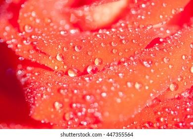 red rose, closeup, dew drops, background, blur