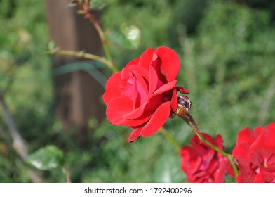 A Red rose closeup seen from the side