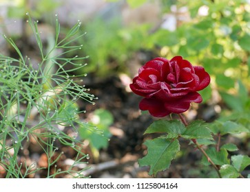 Red rose in dew early in the morning