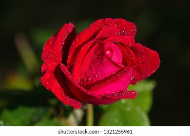 red rose with drops of morning dew