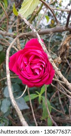 red rose flawer