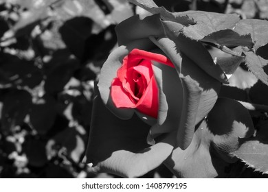 Red rose flower in ash background.