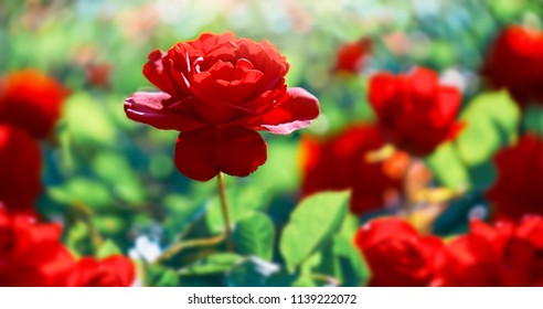 Red rose flower. Background.