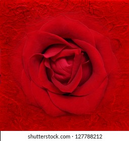 Red rose flower background.