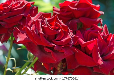 Red rose flower background. Red roses on a bush in a garden. Red rose flower. Red rose Kardinal