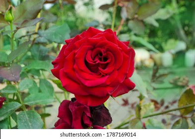 Red rose flower background. Red roses on a bush in a garden. Red rose flower. Red rose Black Magic