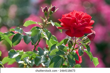 Red rose flower bloom on a background of blurry red roses in a roses garden.