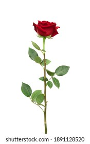 Red rose flower with clipping path, side view. Beautiful single red rose flower on stem with leaves isolated on white background. Naturе object for design to Valentines Day, mothers day, anniversary