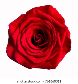 Red rose flower close-up isolated on the white background