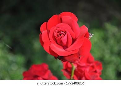 A Red rose flower closeup on blur green bakground.