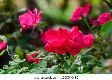 Red rose flower in garden