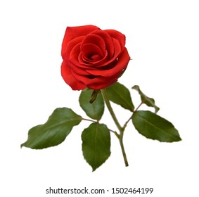 Red Rose Flower Isolated on White Background. Top View on Beautiful Red Rose Flower
