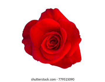 red rose flower isolated on white background with clipping path.