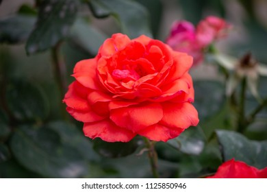 Red Rose Flower, Jangaliya, Nainital