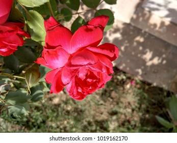 hd rose flower images stock photos vectors shutterstock