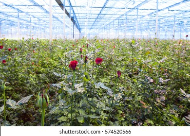 Red rose flower on a blurred background greenhouses. Production and cultivation of flowers. Rose Plantation.