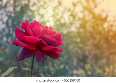 Red rose flower on condolences background for sympathy greeting card for death funeral or tragedy