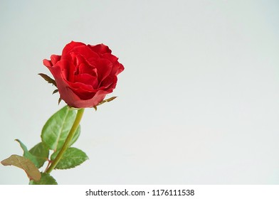 Red rose flower on gray background with copy space. Selective focus flower