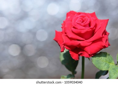 Red rose flower on white bokeh background.