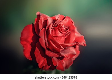 Red rose flower outdoors. close-up. alone, background.