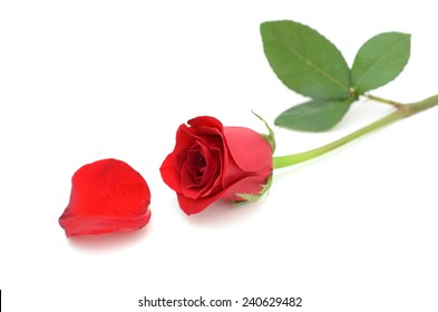A red rose flower and petal on white background