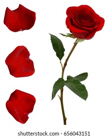 red rose flower and petals isolated