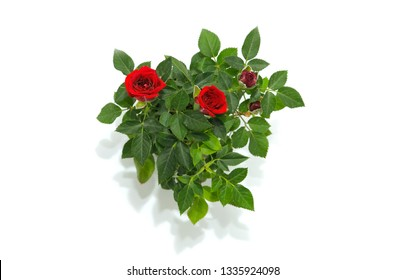red rose in flower pot on white background