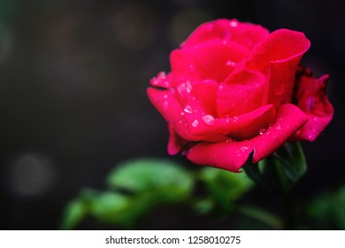 Red Rose flower with raindrops after raining.Water drops on the fresh red rose after raining.