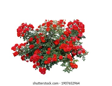 Red rose flowers with white background image