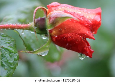 Red rose in the garden in the rain