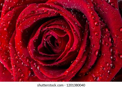 A red rose of the Genus Rosa, family Rosaceae. Red roses are often used as a symbol of love. Sent, often anonymously, on St Valentines Day, 14 February, to a person one loves or is attracted to.