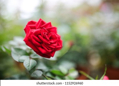 Red rose with green leaf in garden