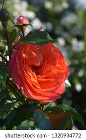 """red rose with green leaves and dew drops. Full bloom rose and rose bud in the background. The name of the rose is """"Gebruder Grimm"""" (Korassenet, Eternal Flame, Brothers Grimm Fairy Tale, Gremlin)"""