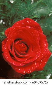 Red rose with greenery and water droplets