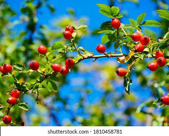 Red rose hips of dog rose. Rosa canina, commonly known as the dog rose, is a variable climbing, wild rose species native to Europe.